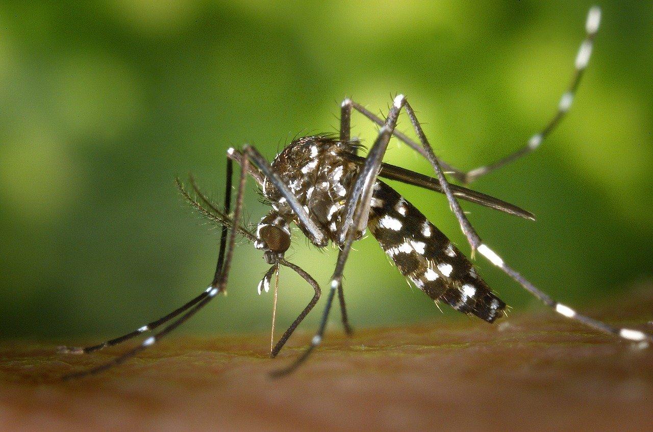 Informations les plus importantes sur le moustique tigre